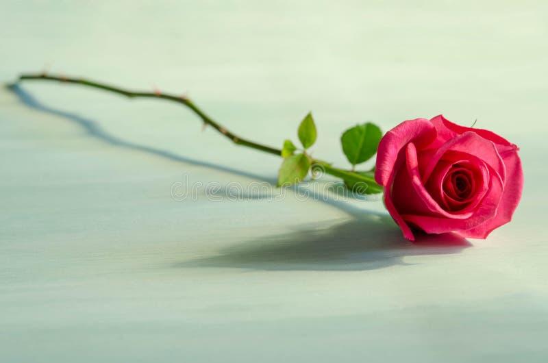 Одиночная красная роза лежит на голубой таблице стоковая фотография