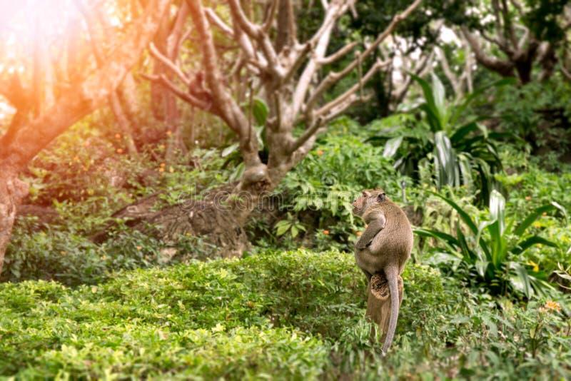 Одиночная обезьяна сидит на пне в лесе Таиланда тропическом с экземпляром стоковое изображение rf