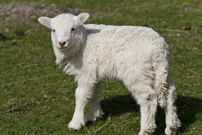 Одиночная овечка стоковое изображение