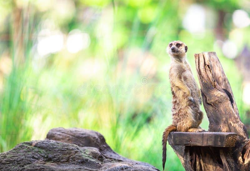 Одиночная одна и милая стойка meerkat на сухой ветви с экземпляром нерезкости стоковое фото rf