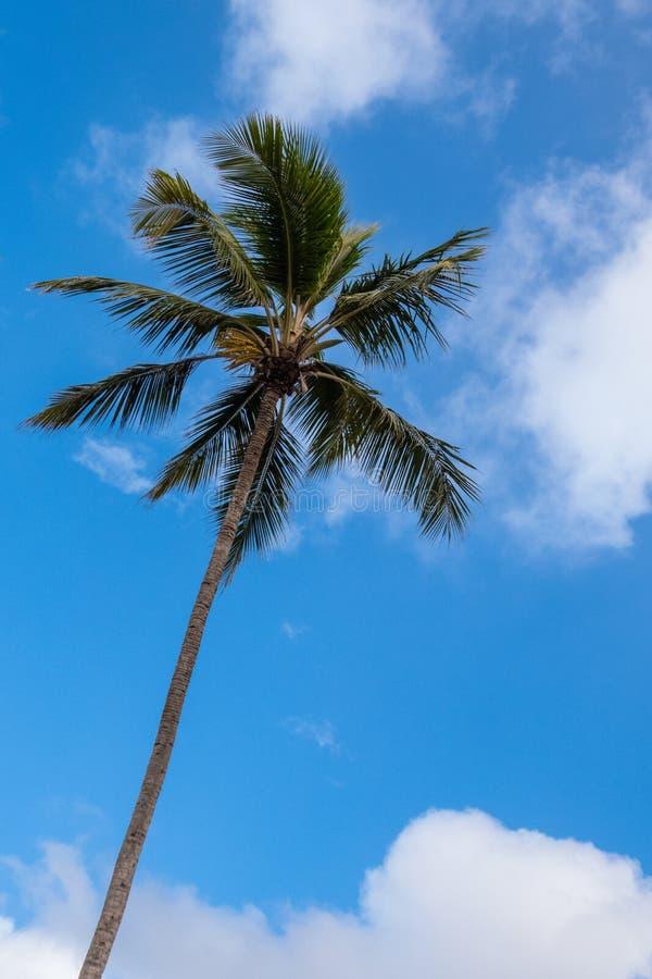 Одиночная пальма против голубого солнечного неба с белым wispy облаком стоковые изображения rf