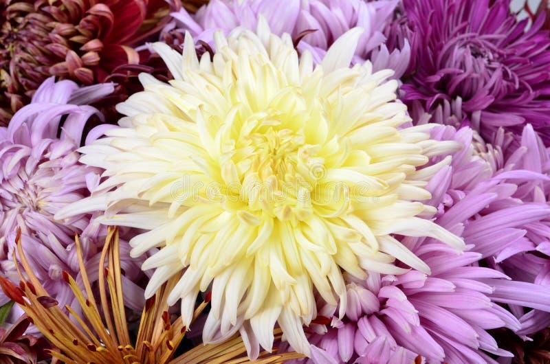 Одиночная хризантема других цветов стоковое фото