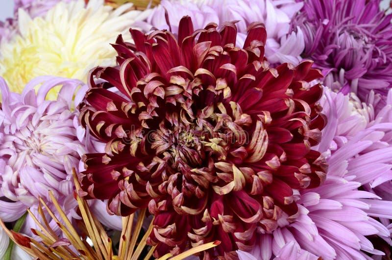 Одиночная хризантема других цветов стоковое фото rf