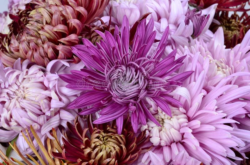 Одиночная хризантема других цветов стоковая фотография