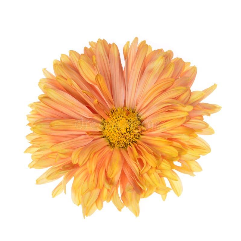 Одиночная хризантема других цветов стоковые фотографии rf