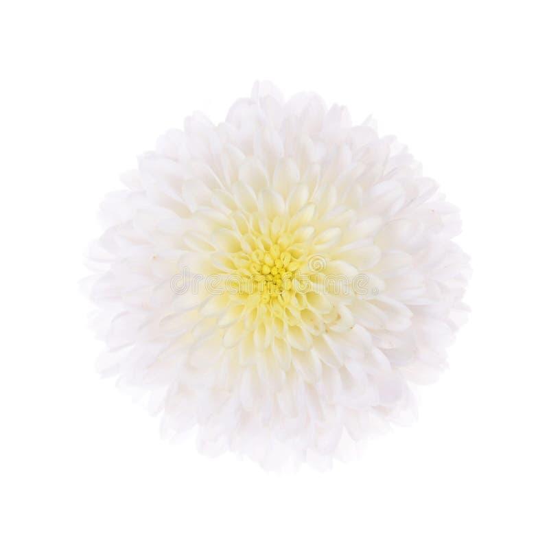 Одиночная хризантема других цветов стоковые изображения