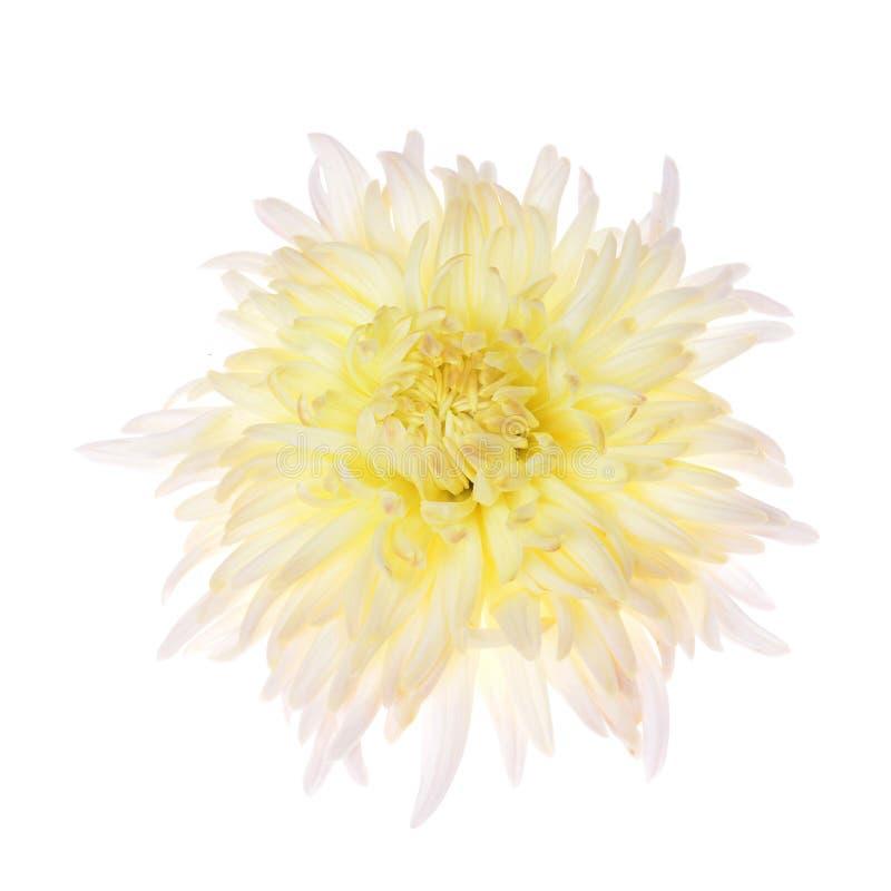 Одиночная хризантема других цветов стоковое изображение