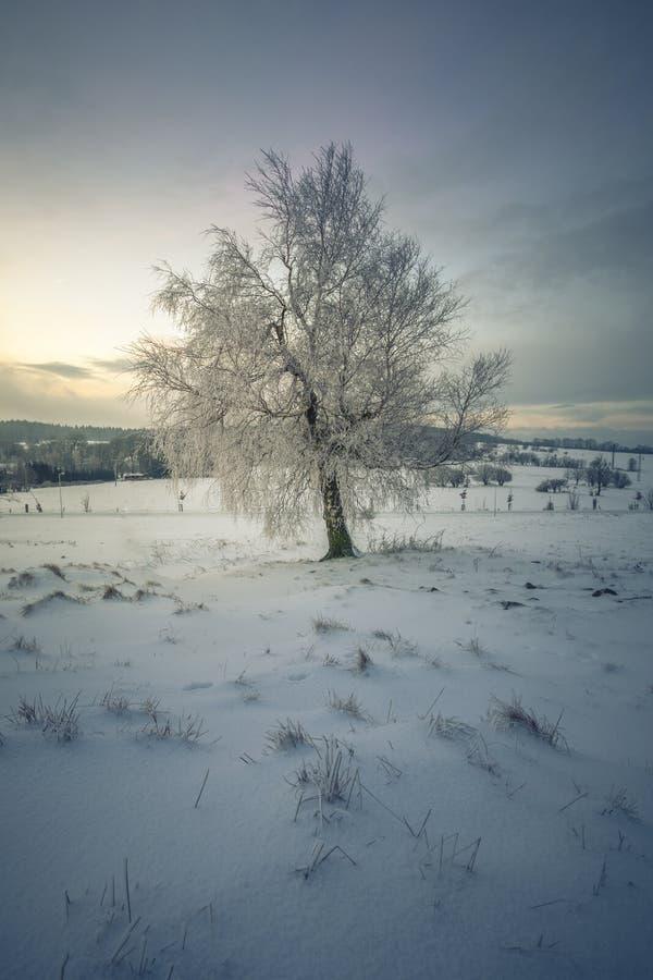 Одиночное дерево в ландшафте зимы уединения стоковые изображения