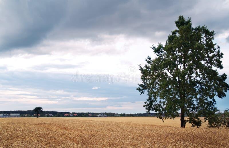 Одиночное дерево в поле стоковое фото