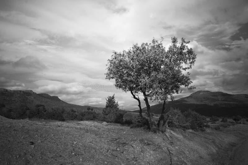 одиночное дерево в черно-белом стоковые изображения rf