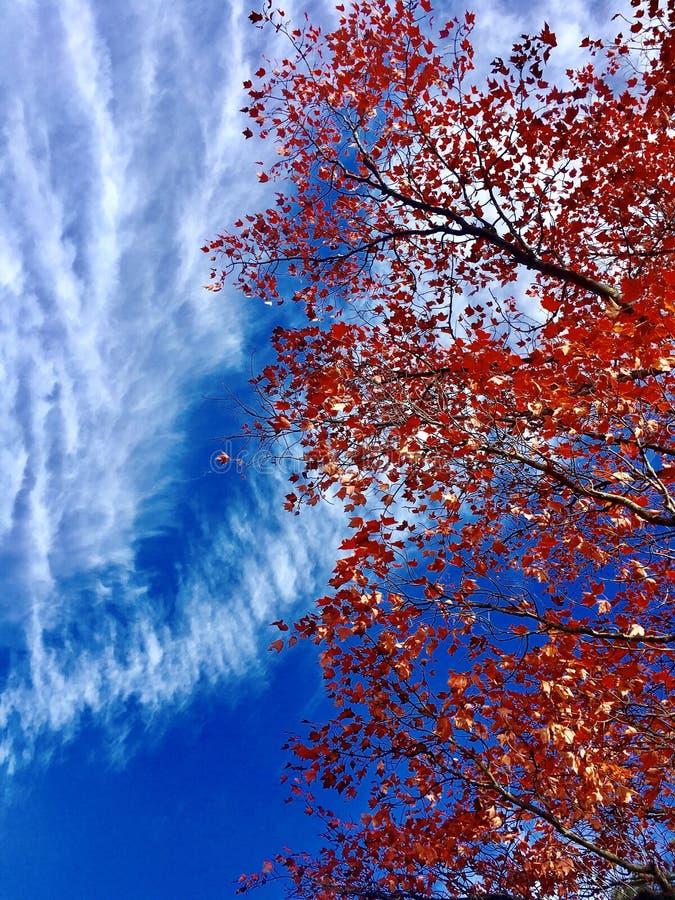 Одиночное дерево клена стоковое фото
