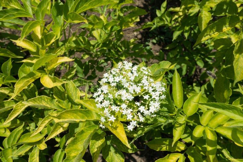 Одиночное corymb белых цветков европейского elderberry стоковые фотографии rf