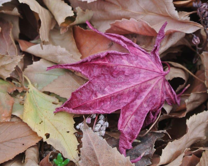 Одиночные красные лист падения в конце-Вверх стоковая фотография rf