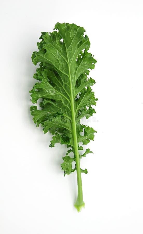 Одиночные лист органической зеленой листовой капусты на белой предпосылке стоковое изображение