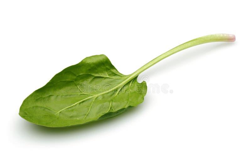 Одиночные свежие лист шпината изолированные на белизне стоковые фото