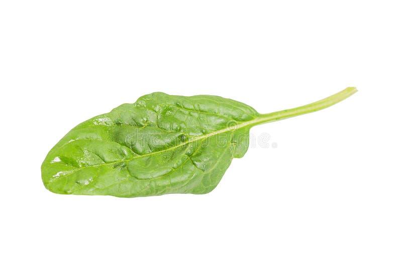 Одиночные свежие лист шпината изолированные на белой предпосылке стоковое изображение rf