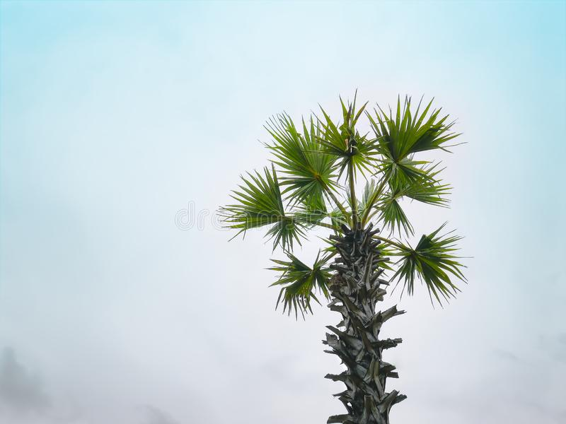 Одиночные хобот и листья пальмы против голубого неба стоковая фотография