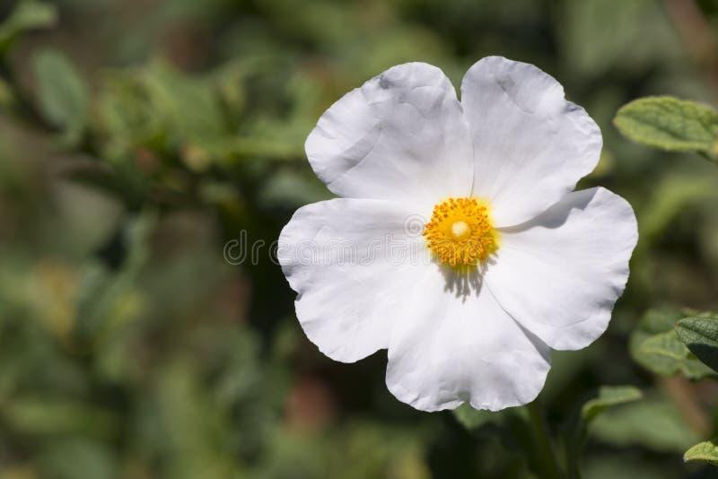 Одиночный белый Cistus Salvifolius - Rockrose стоковое фото rf