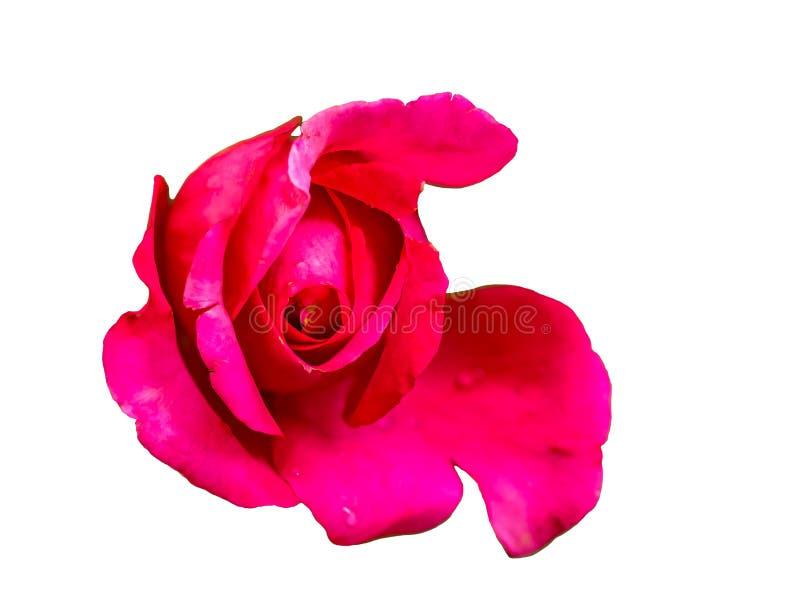 Одиночный бутон красной розы стоковое изображение rf