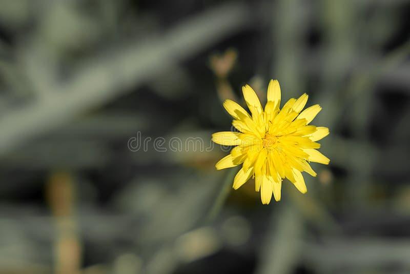 Одиночный желтый одуванчик, стоя вне среди зеленой травы стоковые фото