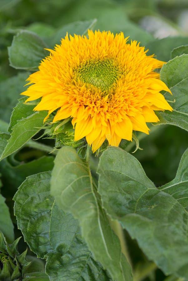 Одиночный желтый солнцецвет полностью зацветает стоковое фото