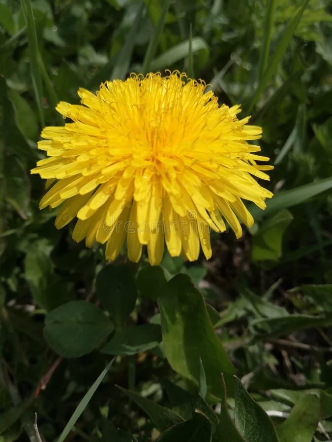 Одиночный желтый цветок стоковое изображение rf