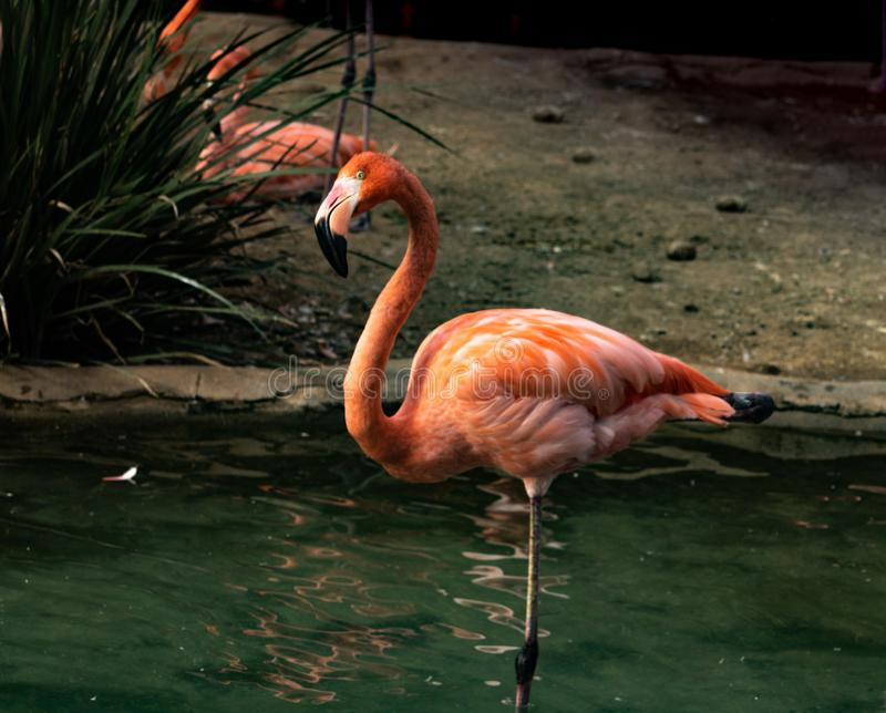 Одиночный конец-вверх яркого красочного фламинго стоя на одной ноге в пруде смотря камеру с опрокинутой головой стоковые изображения rf