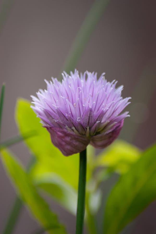Одиночный конец цветка Chive вверх стоковое изображение rf