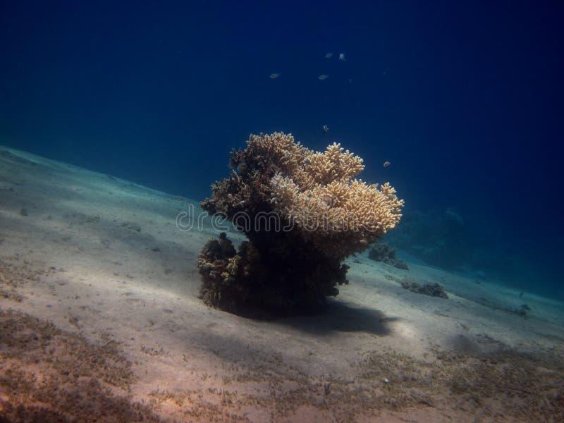 Одиночный коралл стоковое изображение rf