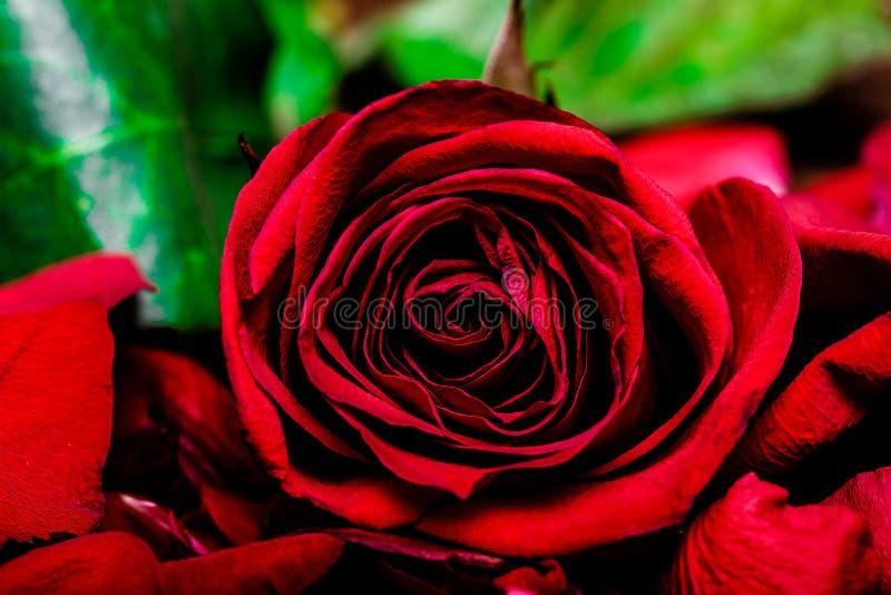 Одиночный макрос красной розы стоковые изображения rf