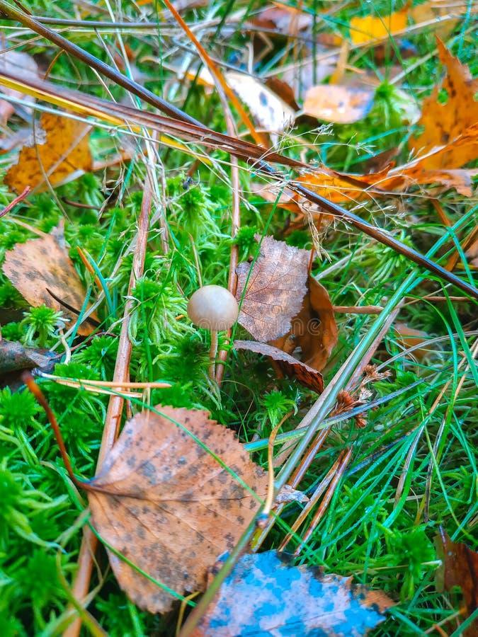 Одиночный маленький коричневый гриб в длинной траве стоковые фотографии rf