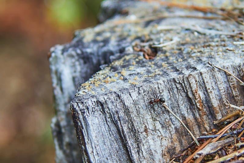 Одиночный муравей огня на пне стоковые изображения rf