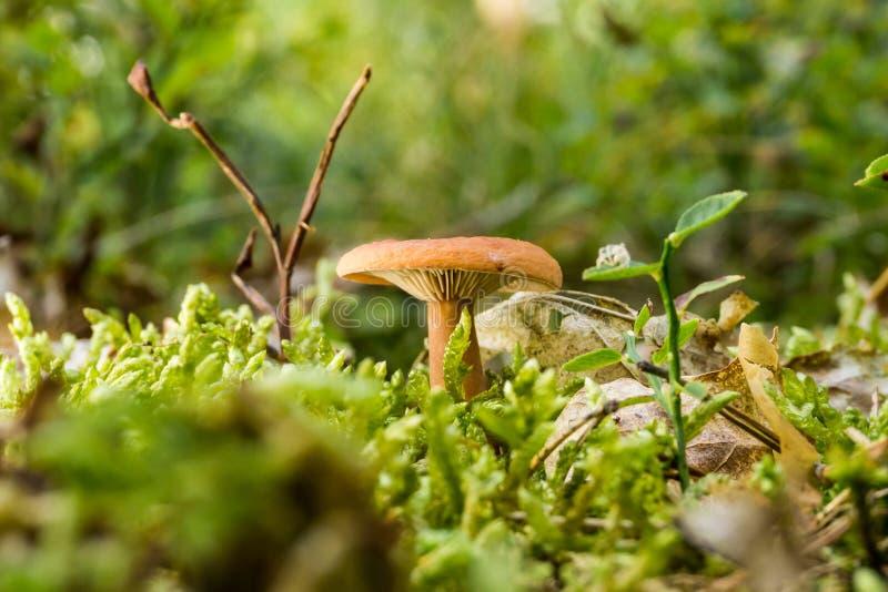 Одиночный оранжевый гриб рыжика растет от мха стоковое изображение