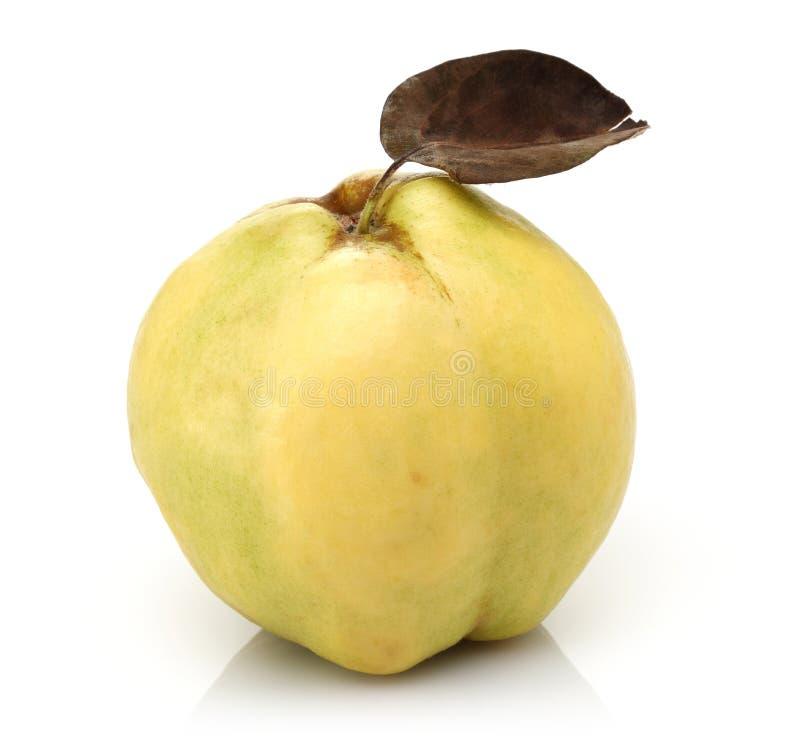 Одиночный плод айвы с лист изолированными на белизне стоковая фотография