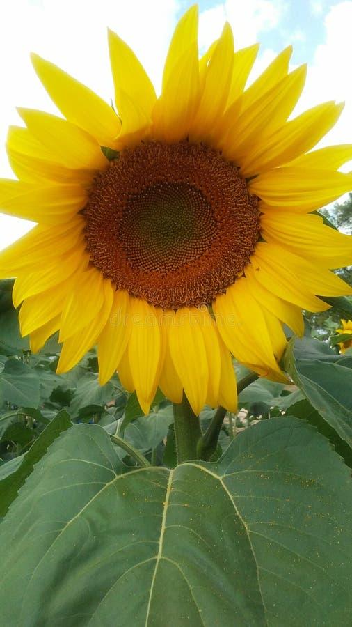 Одиночный солнцецвет стоя высокорослый и гордый стоковое изображение rf