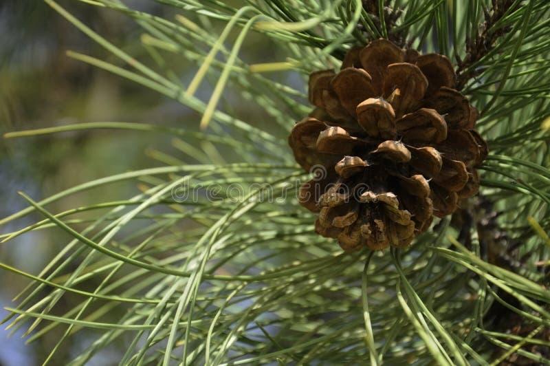 Одиночный сосновый конус на дереве Evergreen стоковая фотография rf