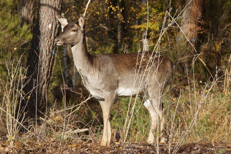 Одиночный стоящий олень в лесе - Франции стоковое фото