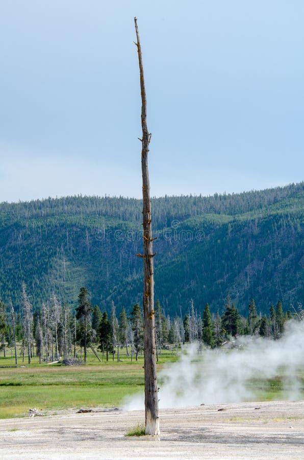 Одиночный уединенный ствол дерева стоит внутрь геотермического горячего источника гейзера в национальном парке Йеллоустон стоковые фото