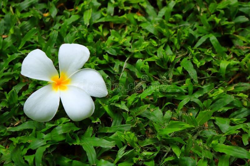 Одиночный цветок plumeria на луге травы стоковые изображения