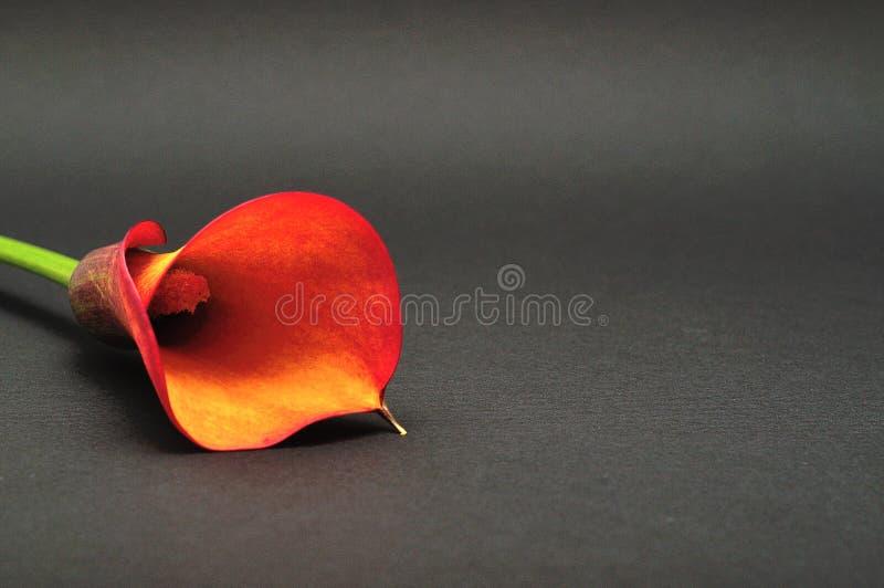 Одиночный Arum lilly стоковые фото