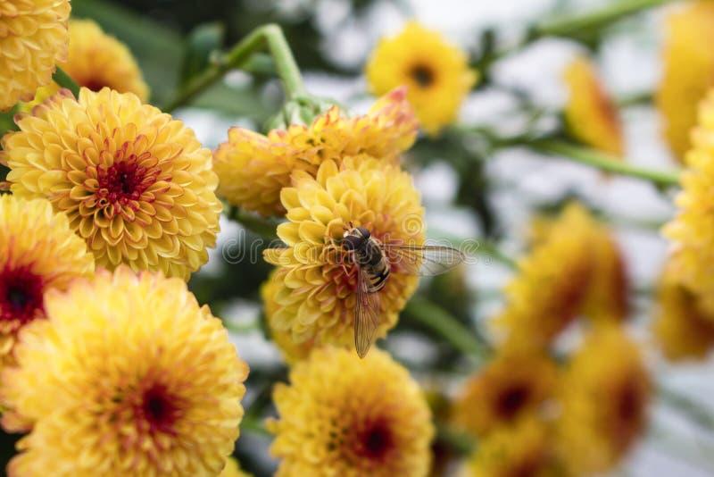 Одиночный hoverfly на цветке в поле цветеня цветков хризантемы леденца на палочке желтого полностью E стоковые фотографии rf