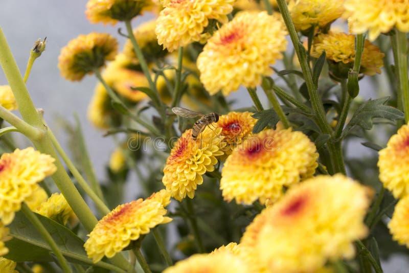 Одиночный hoverfly опыляющ цветок в поле цветеня цветков хризантемы леденца на палочке желтого полностью стоковые фотографии rf