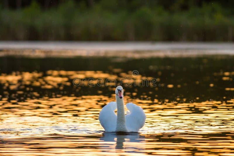 Один безгласный лебедь в золотом озере на заходе солнца стоковая фотография rf