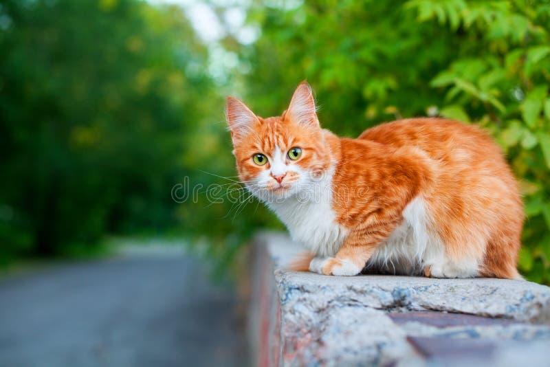Один красно-белый милый кот на ветке дерева зеленые листья размытый фон близко, рыжий мех красивый котенок, копировать пространст стоковые изображения