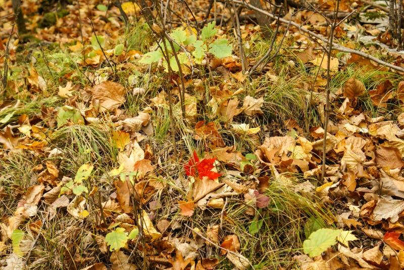 Один красный кленовый лист на том основании с коричневым разрешением, зелеными листьями, хворостинами, и травой в парке штата Kat стоковая фотография