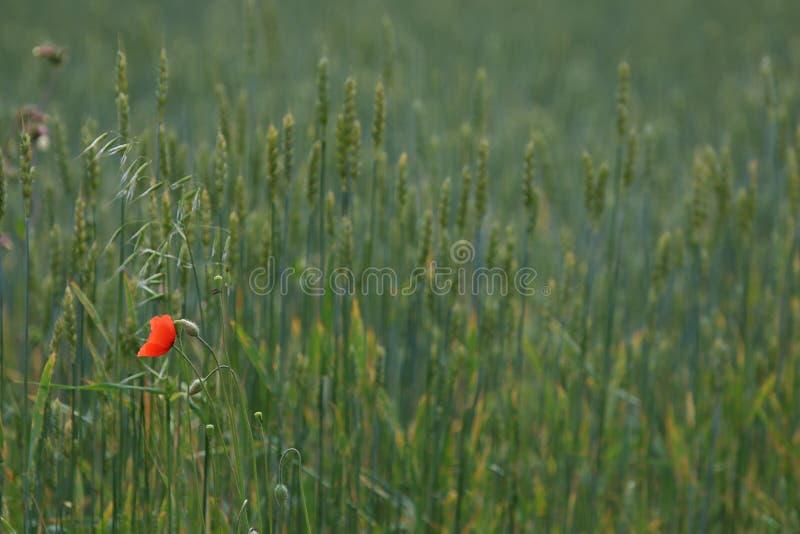 Один красный цветок мака на зеленом луге стоковые фотографии rf
