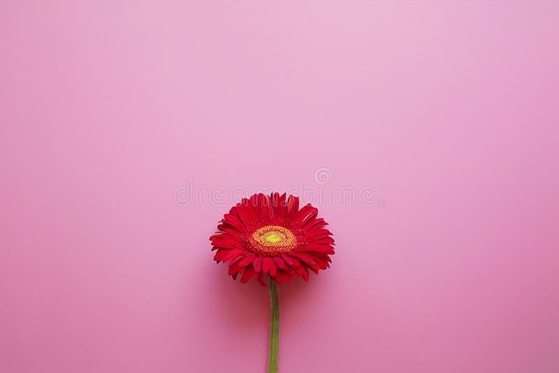 Один красный gerbera на розовой предпосылке стоковая фотография rf