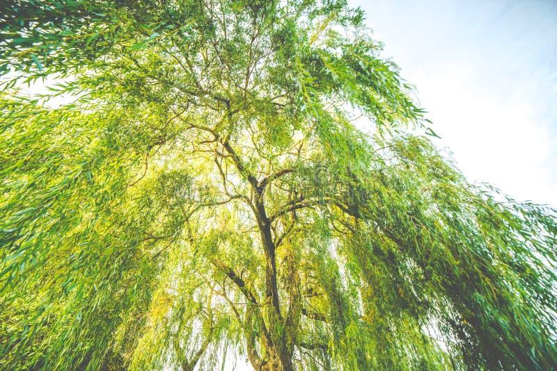 Один крупный план дерева вербы стоковая фотография