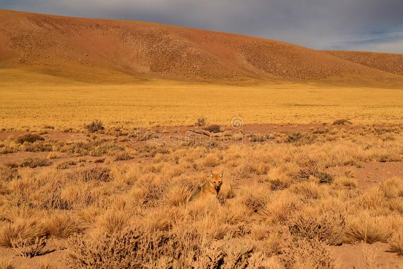 Один маленький андийский Fox ослабляя в поле щетки пустыни, пустыня Atacama, Чили стоковые фото