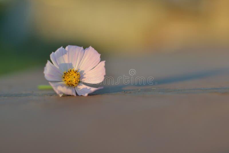 один маленький лежать белого цветка стоковое изображение rf